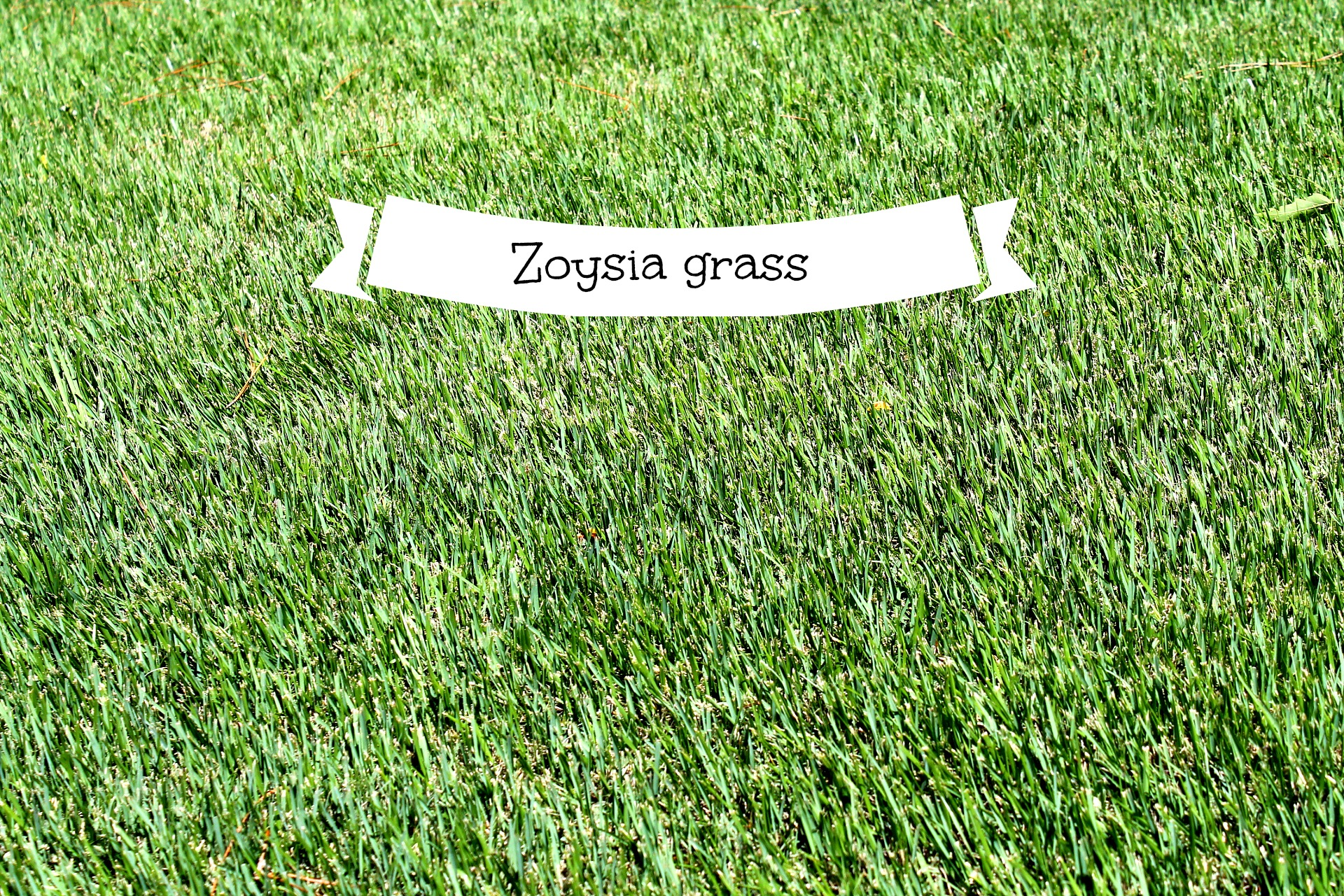 zoysia grass and why you should have it