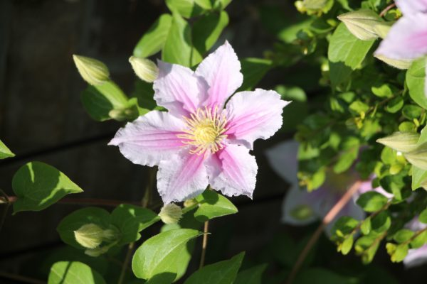 Clematis in the Carolina's