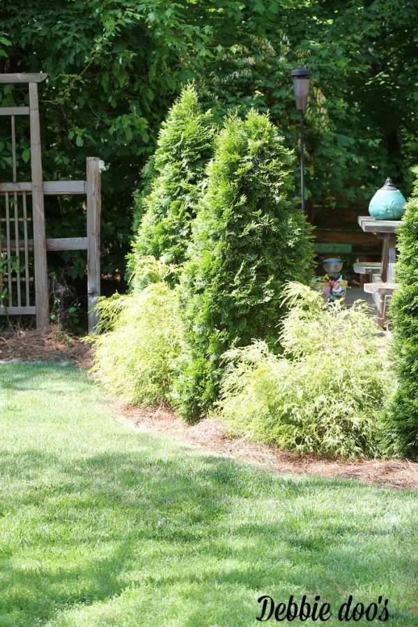 Cypress trees and golden mop along border