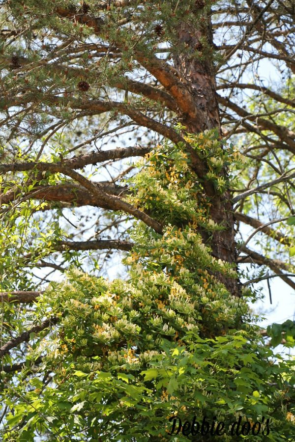honey suckle growing up trees