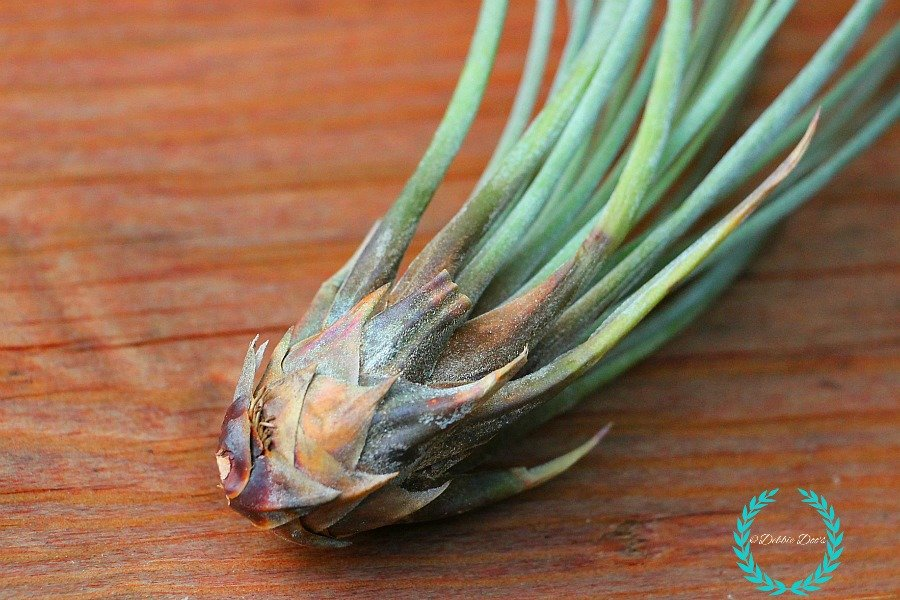 Caring for your Tillandsia bka airplants