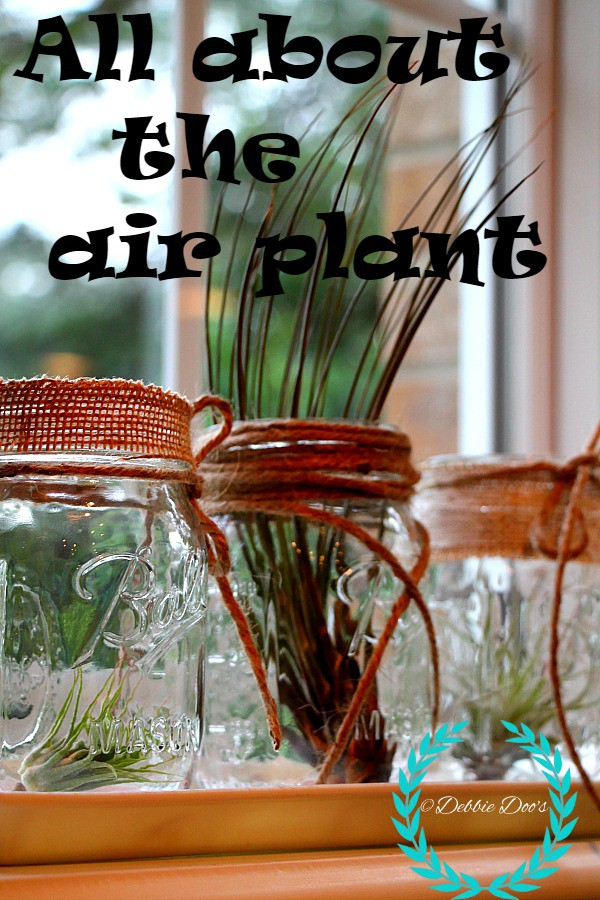 all about the air plant