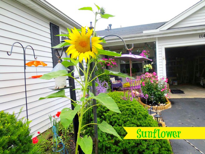 Sunflower Garden Ideas oliver and rust sunflowers beautiful way to keep them upright and contained Sunflower Fairy Gardens And Ideas