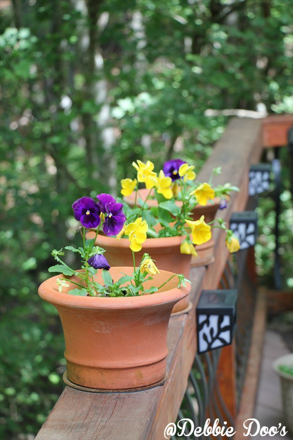 pansies in clay pots