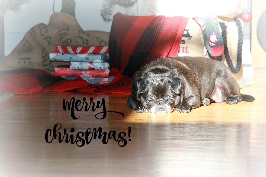 lucy pug under the Christmas tree