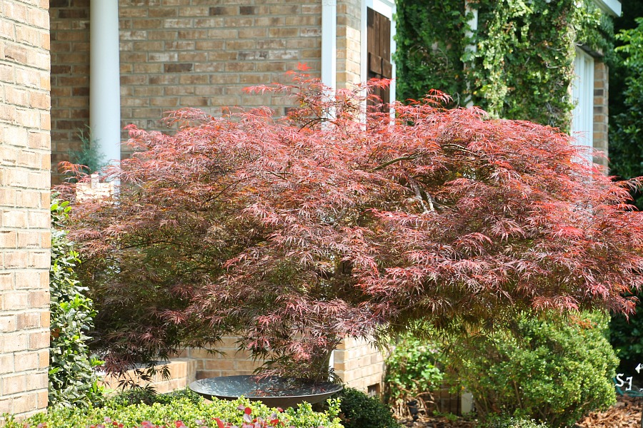 Amazing Japanese maple tree in South Carolina
